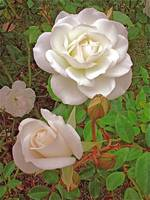 White Antique Roses