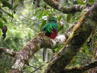 Male Resplendant Quetzal, molted feathers