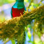 """Male Quetzal"" by Nordic"