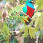 """Male Resplendent Quetzal (Pharomachrus mocinno)."" by Nordic"