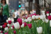 Chicago Magnificent Mile Spring Tulips