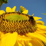 """SUN FLOWER ART Honey Bee Floral Sunflowers"" by BasleeTroutman"