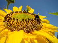 SUN FLOWER ART Honey Bee Floral Sunflowers
