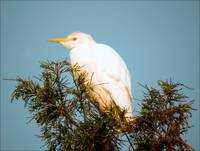 Egret in the Sunshine