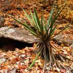 """Yucca Among Fallen Leaves"" by dustinblodgett"
