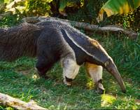 Giant Anteater Walking