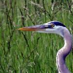 """Great Blue Heron"" by Woakus"