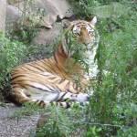 """Siberian Tiger"" by redhawk45"