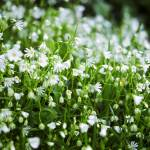 """Stellaria holostea, Greater Stitchwort, Early Spri"" by cybernymph"