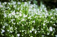 Stellaria holostea, Greater Stitchwort, Early Spri