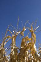 Corn in Blue Sky