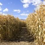 """Corn maze"" by dliban"