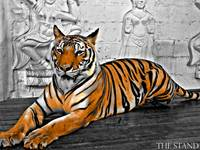 The Tiger of Thailand
