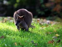 A Wallaby in Autumn