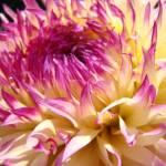 """""""MASTER GARDEN DAHLIA FLOWER Garden Art"""" by BasleeTroutman"""
