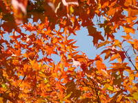 AUTUMN LANDSCAPE Orange Fall Leaves SKY