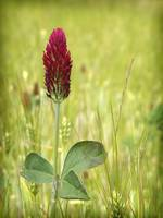 Red Clover and Wheat