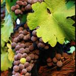"""""""Grapes on the Vine 2"""" by brandynicole"""