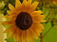 Oregon Sunflower