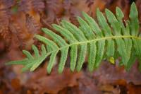 Fern Common Polypod