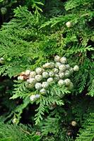 Lawson Cypress, Young Seed Cones (20140-RDA)