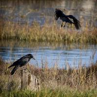 Crows at Corte Madera Creek