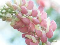 Pretty in Pastels - Pink Lupin