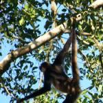 """Spider Monkey - Tikal, Guatemala"" by jme"