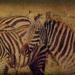 """Zebras"" by michellemorrisphotography"