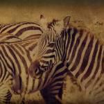 """Zebras"" by michellemorrisphotography"
