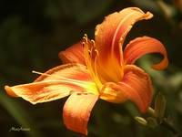 Orange Red Day Lily