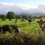 """""""Cows Again"""" by hiltch"""