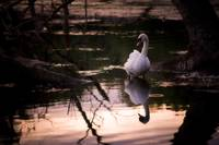 Evening Swan, Roath Park Lake.