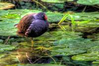 Moorhen on the Glamorganshire Canal
