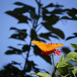 """Butterfly Orange"" by Juany"