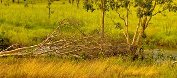The Fallen Tree At Kakadu -NT