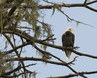 Bald Eagle at Woods Canyon Lake