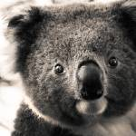 """""""Portrait of Koala"""" by alecrain"""