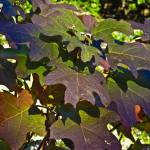 """Oak Leaf Hydrangea Fall"" by MichaelKarasik"