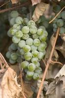 Ripe Grapes 2