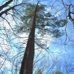 """Towering Pine"" by ArianasArt"