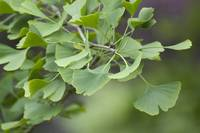 ginko leaves cool green