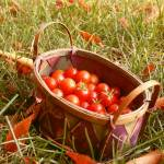 """Basket of Cherry Tomatoes in Autumn"" by Maianna"
