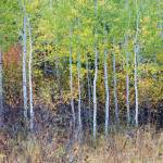 """""""New Stand, Changing Colors, Grand Teton National P"""" by HiddenLightPhotography"""