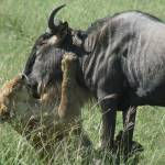 """Lion Killing Wildebeest"" by Ken"