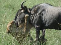 Lion Killing Wildebeest