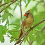 """Northern Cardinal"" by tricia"