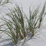 """""""Sea grass at beach"""" by Moments2Savor"""