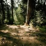 """John Muir Trail -- Deer"" by penumbrapics"