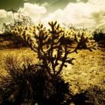 """""""Cholla Cactus"""" by penumbrapics"""
